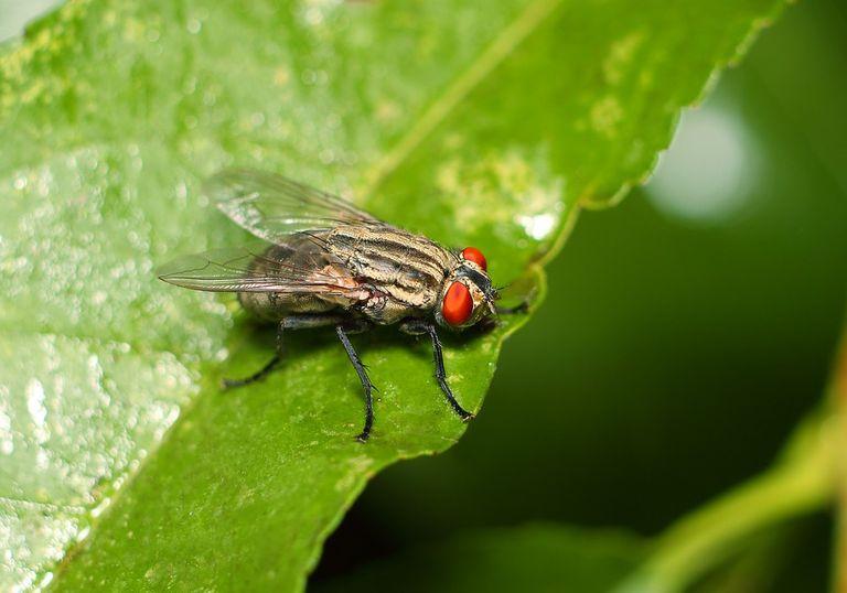 mosca monogamia temperatura