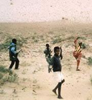 La crisis de la langosta de África empeora