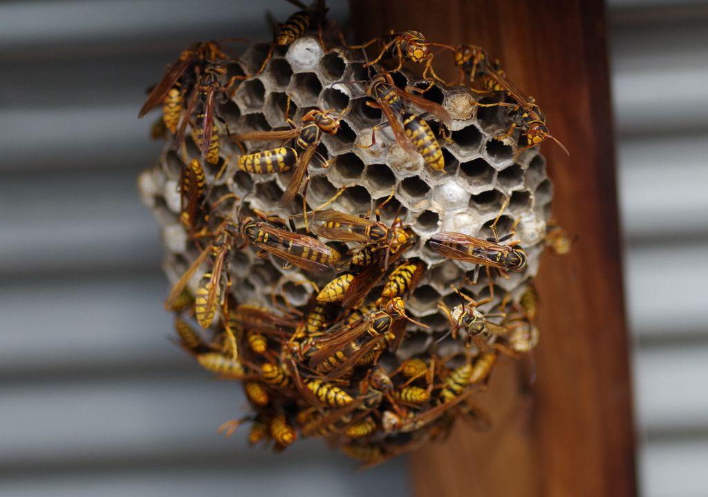 Wasp proliferation.
