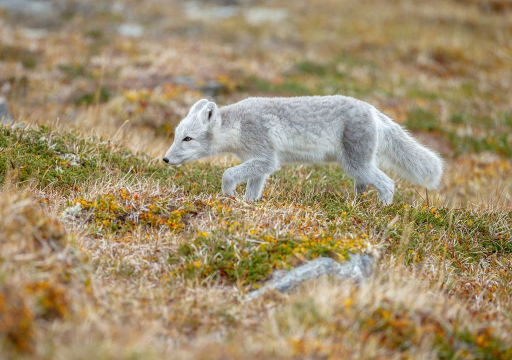 Arctic fox: the Arctic is warming twice as fast as the global average