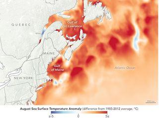Olas marinas de calor en el Golfo de Maine