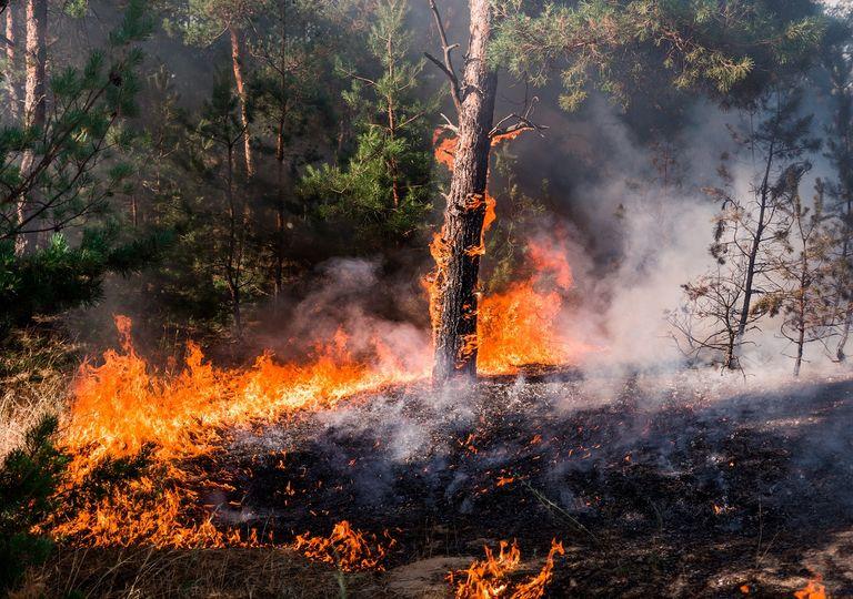 Bosque; Pinos; Incendio Forestal; Fuego; Temporada de incendios
