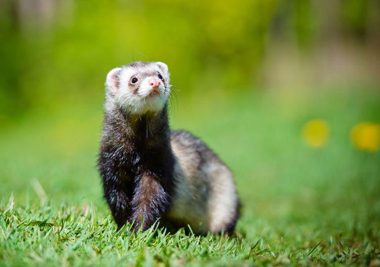 Furão; vida selvagem; biodiversidade;