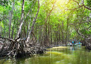 A frágil muralha da ecologia costeira e os manguezais