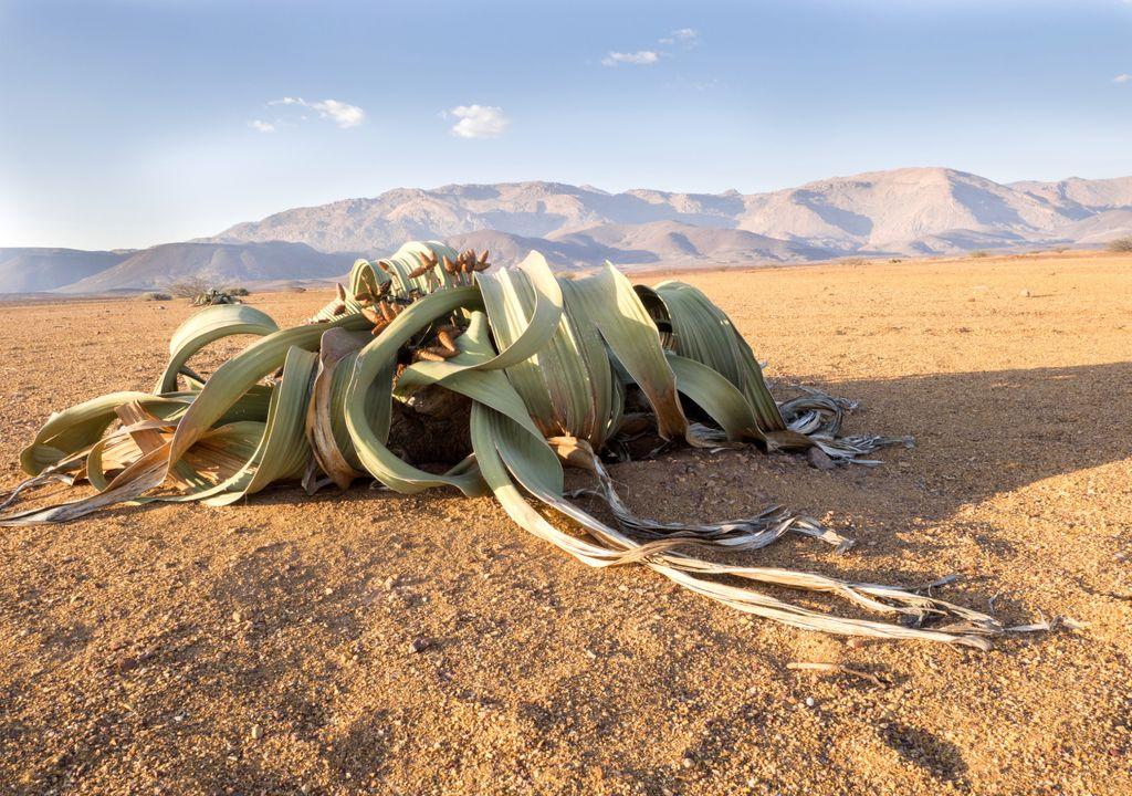 welwitschia; longevidade; angola; namíbia; deserto do namibe