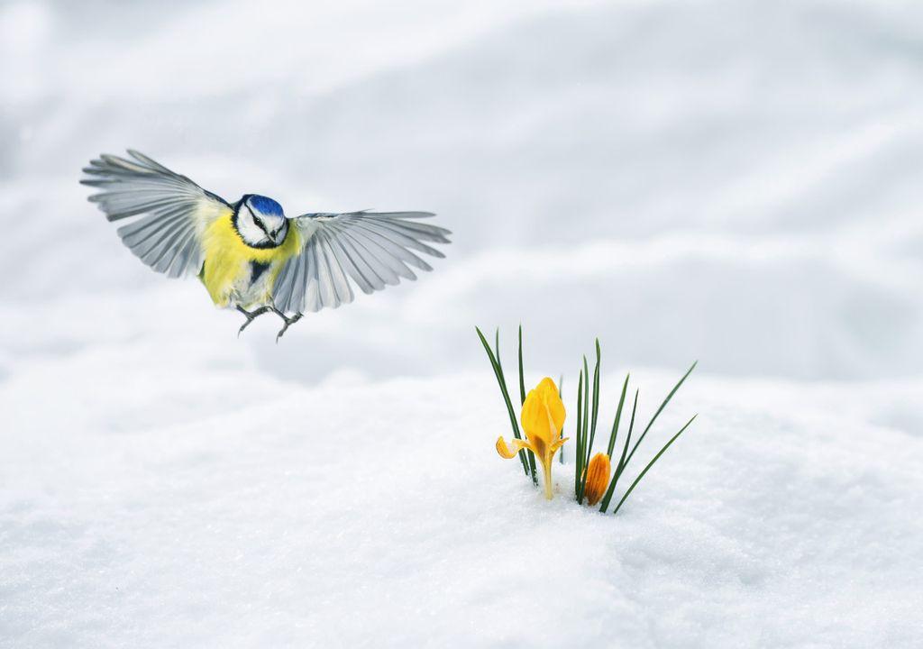 Snowy crocus and blue tit