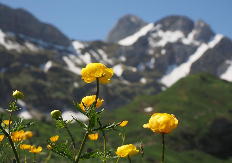 A última chance de ver flores alpinas próximas da extinção 1
