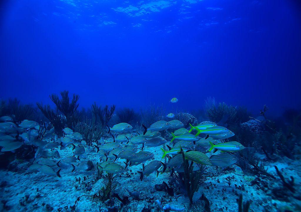 Golfo do México; cardume