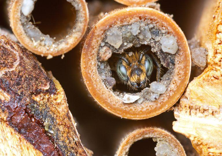 abelha rara; nativa, Austrália