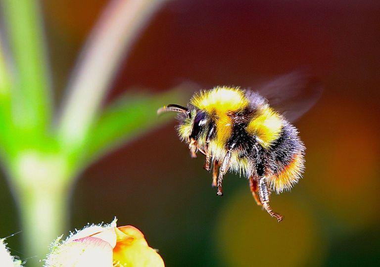 Abelhas estão entrando em extinção devido ao clima