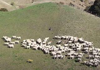 Ahora los robots podrían reemplazar a los perros pastores de ovejas