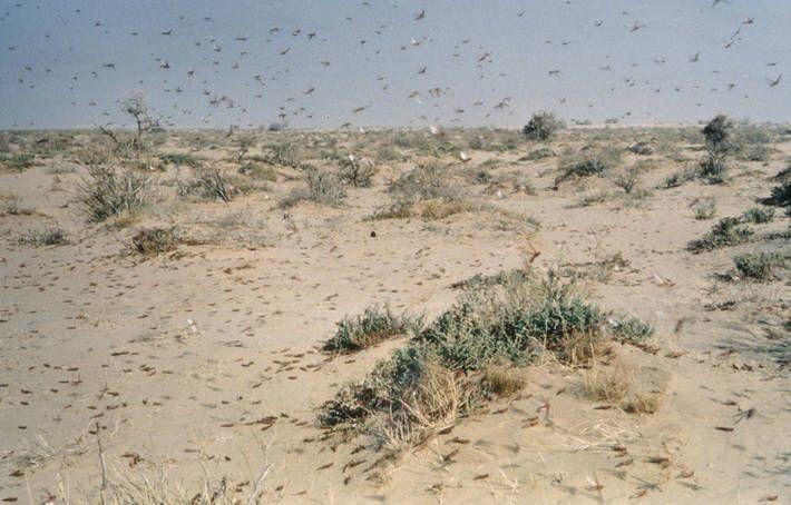La langosta del desierto es la peste más peligrosa del mundo, capaz de volar hasta 150 km al día empujada por el viento.