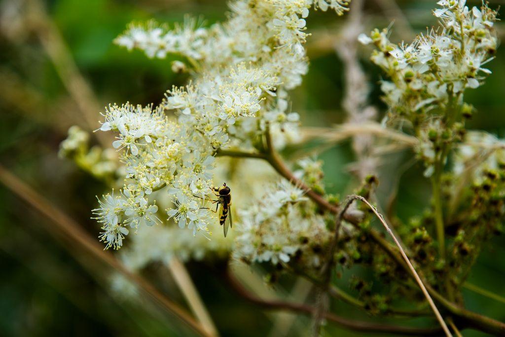 Les pollens d'ambroisie, qui continuent de sévir à des niveaux élevés dans certains départements en ce mois de septembre.