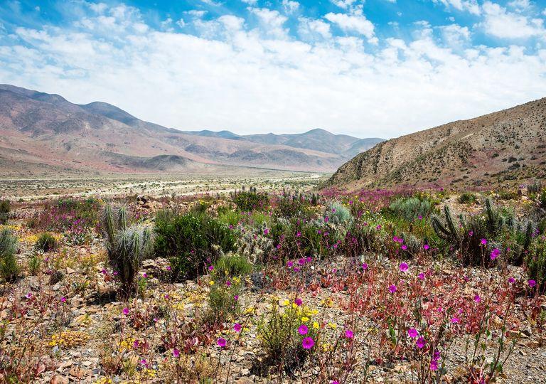 Desierto de Atacama con flores. Desierto florido