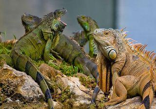 Alta probabilidad de caída de iguanas en la Florida