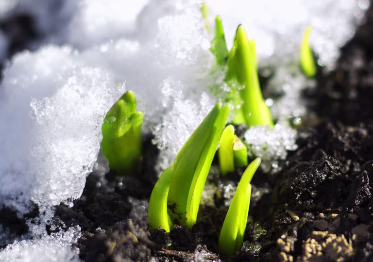 Icy shoots
