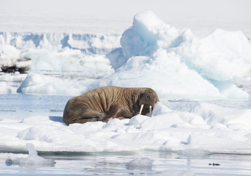 Morsa no gelo; Ártico.