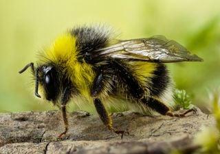 As abelhas estão em vias de extinção!