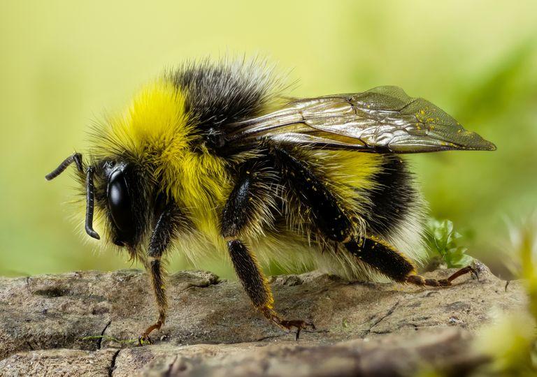 abelha; extinção; polinizadora