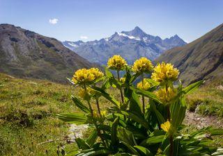 As plantas alpinas enfrentam a extinção devido ao degelo