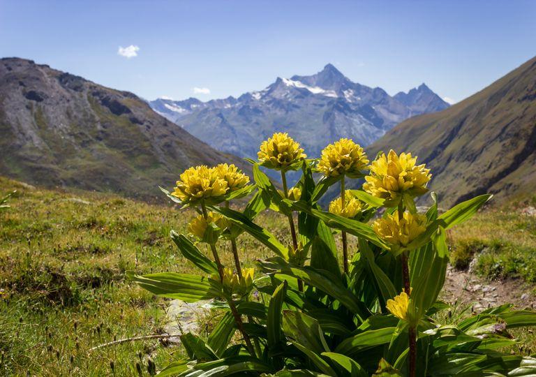 Plantas alpinas en extinción