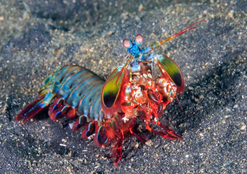 Mantis shrimps have four times more colour receptors than humans
