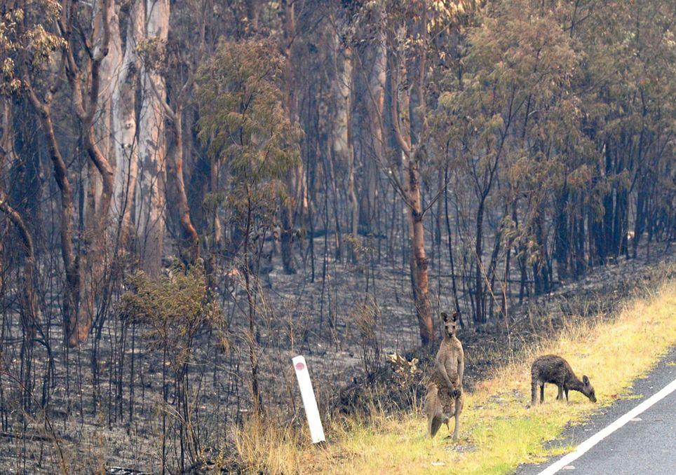 mueren muchos canguros por los incendios