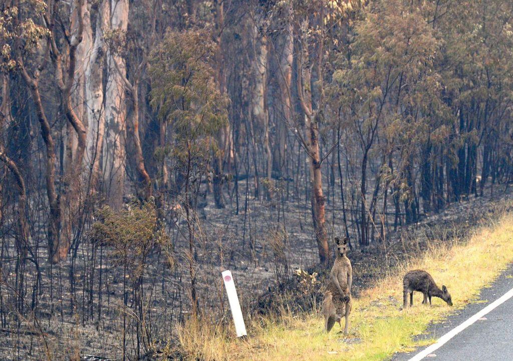 canguros, koalas, incendio, llamas, fuego, australia, fostal, humo, oceanía