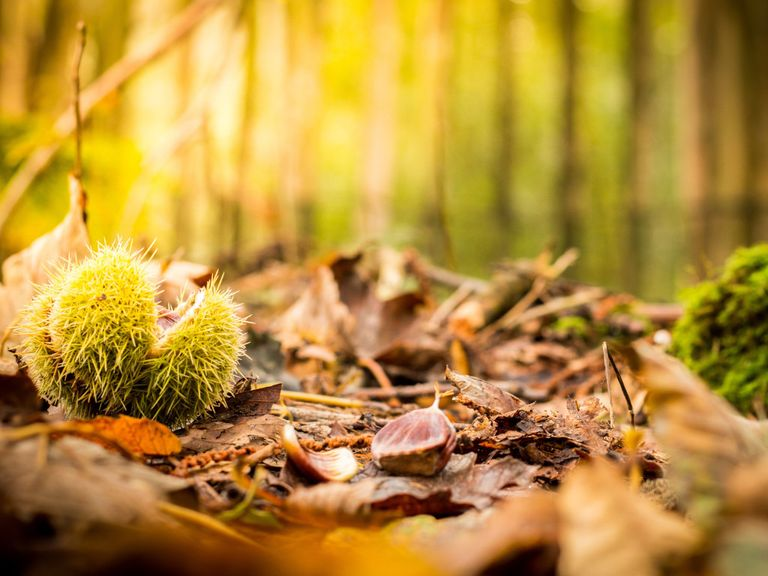 Autumn conkers.