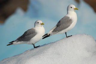 Aves marinas amenazadas por el deshielo del Ártico