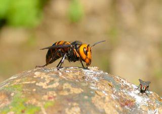 'Avispas gigantes' vetulinas y mandarinas, una amenaza ya casi global