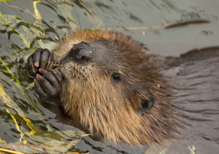 Beavers are successfully living in parts of Britain.