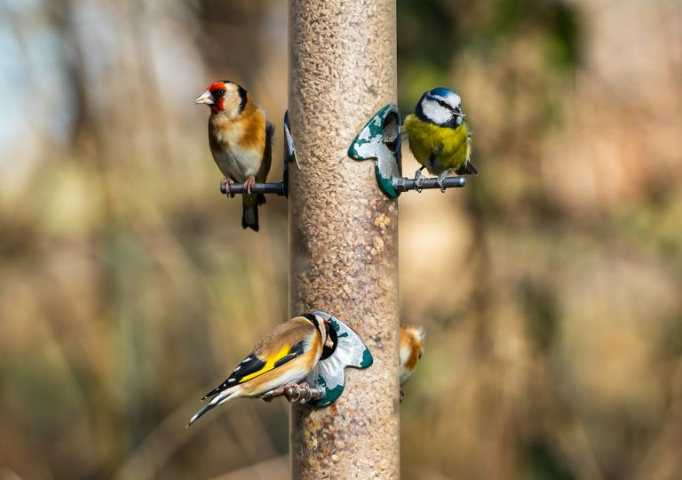 Blue tit, goldfinch, UK birds.