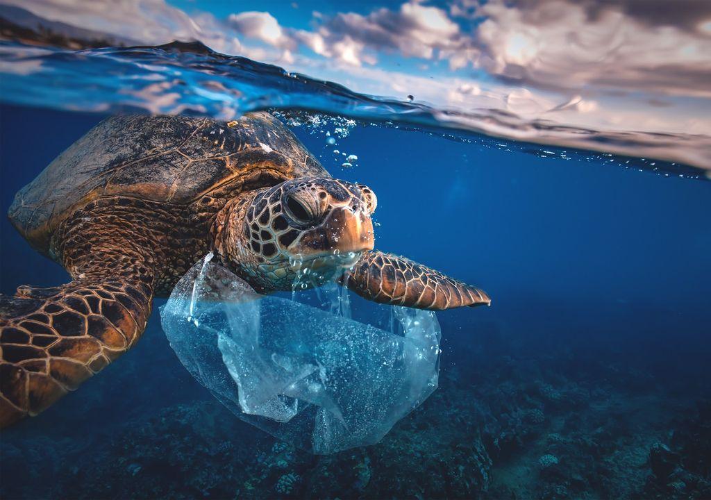 Tortuga marina comiendo una bolsa plástica