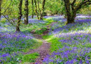 British bluebells 'mark' ancient woodland