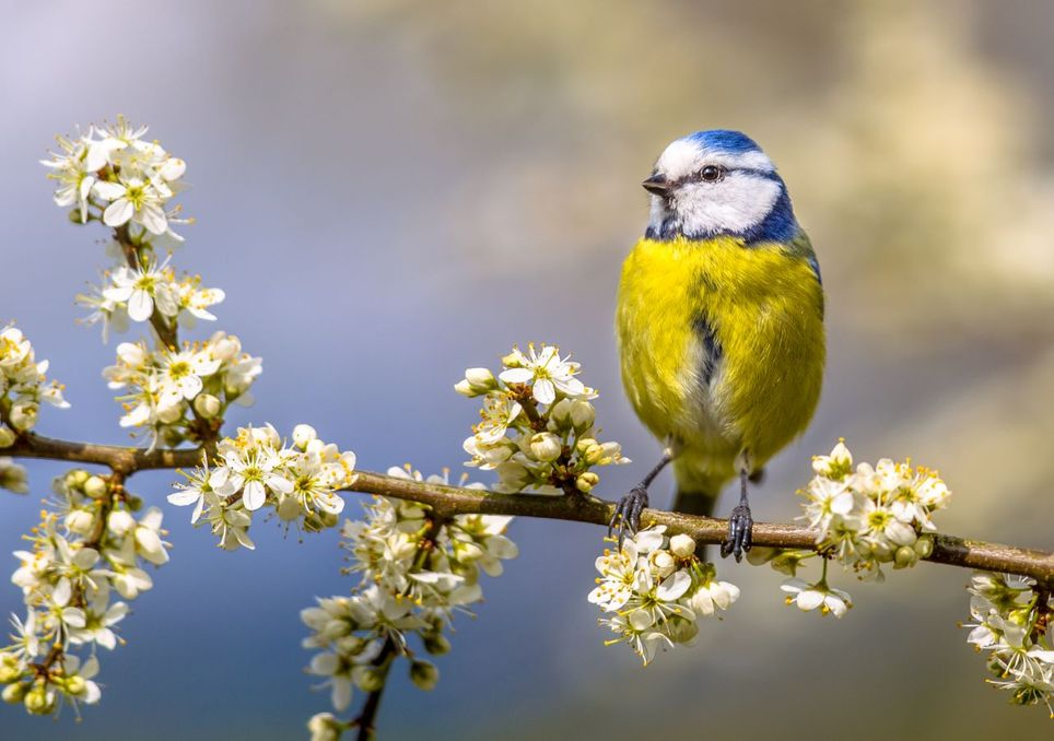 A blue tit sitting on a blossom-filled branch