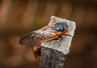 Billions of zombie cicadas are ready to invade the US