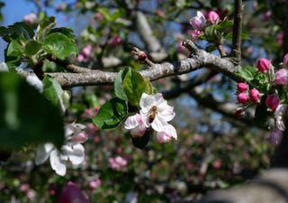 Bumper apple harvest predicted following sunniest April