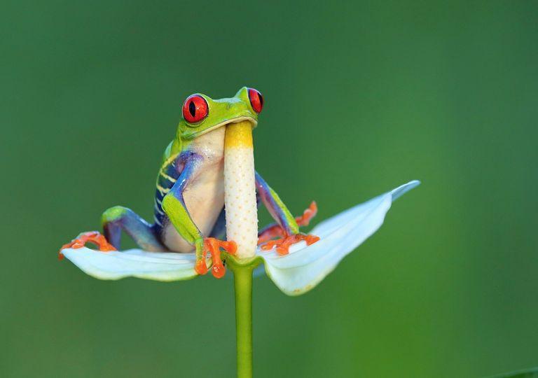 Amphibians; frog; Red eyed frog
