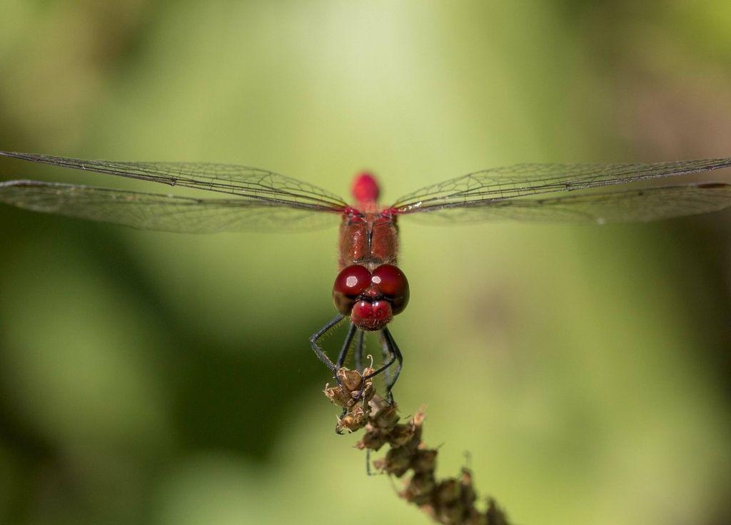 Migración de libélula