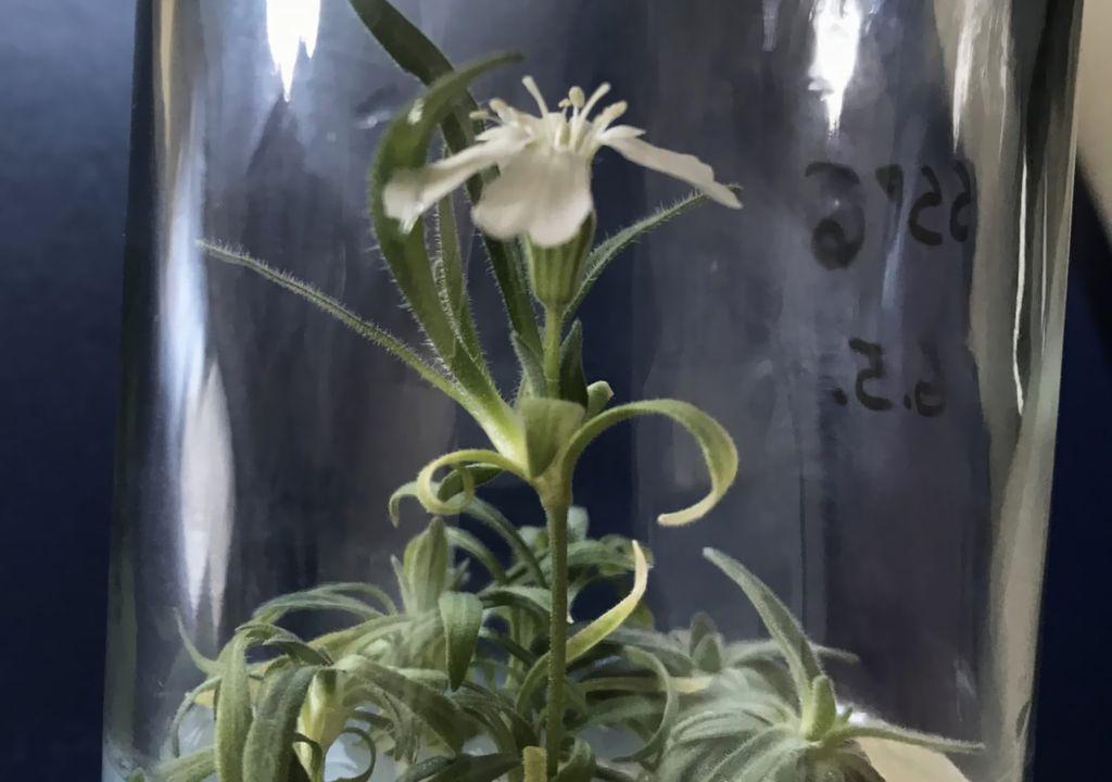 Cientistas revivem planta de 32 mil anos de idade 1