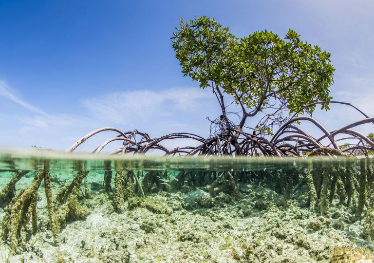 Mangroves provide natural protection from sea level rise