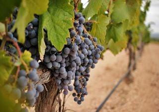 ¿Colapsará el cambio climático la industria del vino?