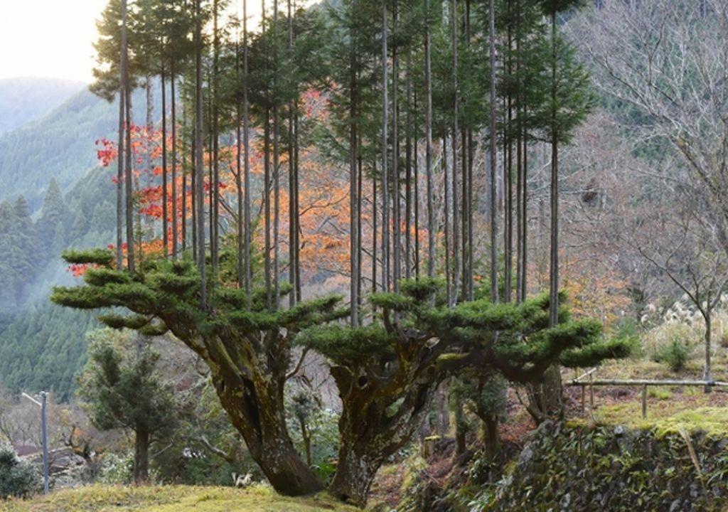 arbol, poda, daisugi, japon, deforestacion