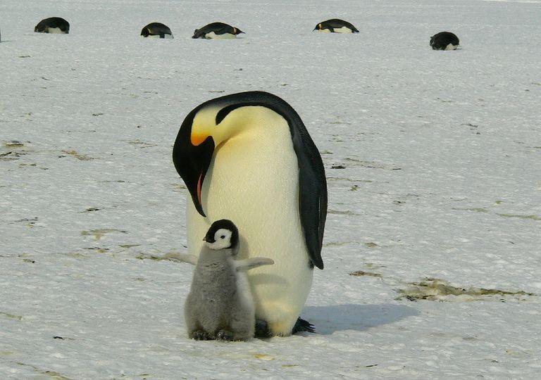 Pingüino con su cría en la Antártica