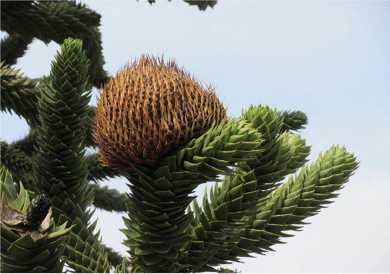 Conos y ramas de una araucaria