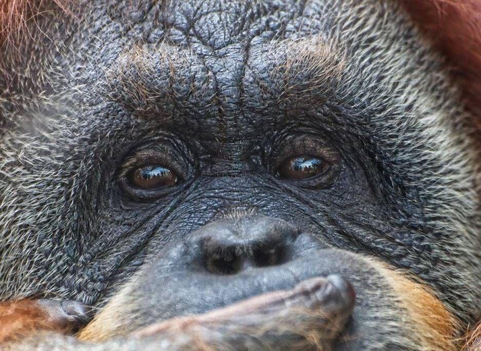 La expansión de la palma aceitera podría afectar al 54% de los mamíferos amenazados y al 64% de las aves amenazadas en todo el mundo.