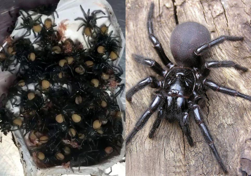 Aranhas mortais na Austrália