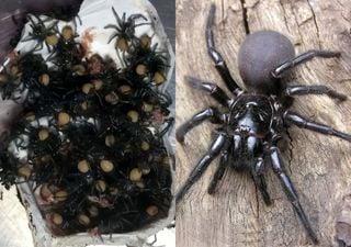 Condições de tempo na Austrália geram alerta de aranhas venenosas