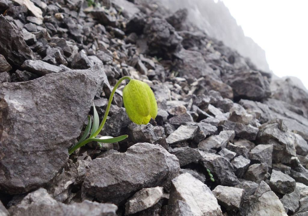 planta Fritillaria delavayi